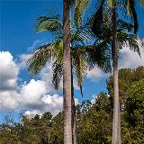 Palms Trees near the SRLF Parking Log
